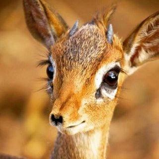 غزال الريم صور عيون حيوان غزال الريم