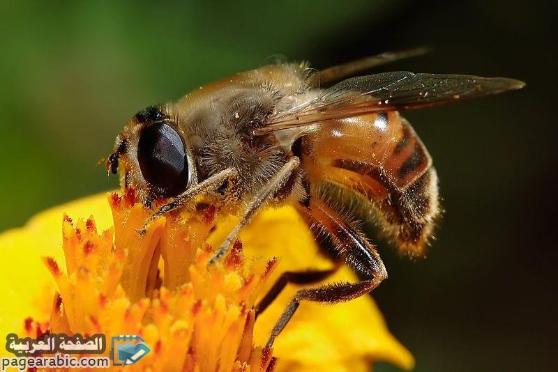 حشر النحل