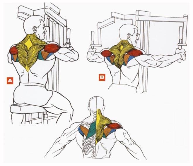 تمرين العضلة الخلفية