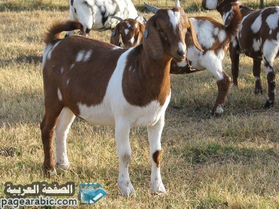 صورة تفسير حلم رؤية الغنم الماعز الكبش Goat Dream
