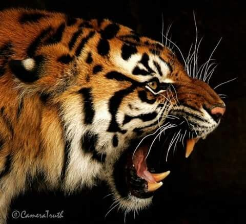 Photo of صور نمور 2020 مفترسة Tiger Pictures