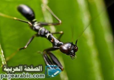 صورة تفسير حلم النمل الاسود Black Ants