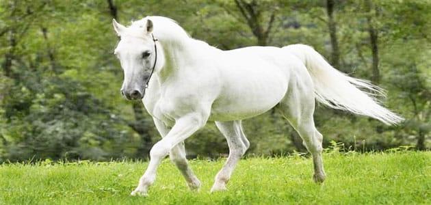 صورة تفسير رؤية الحصان الابيض في المنام