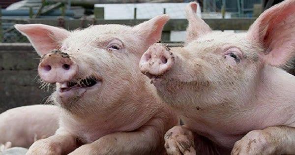 صورة تفسير رؤية الخنازير في المنام