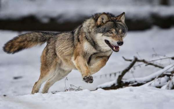 صورة تفسير رؤية الذئب في المنام