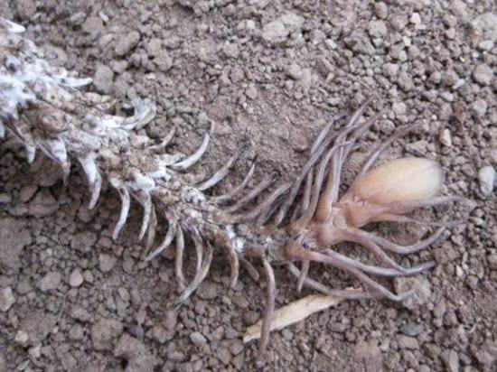 Spider-tailed-viper2-5ثعبان صاحب الذيل الي يشبة العنكبوت ]